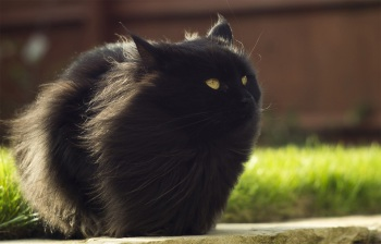 black-fluffy-cat-in-the-wind