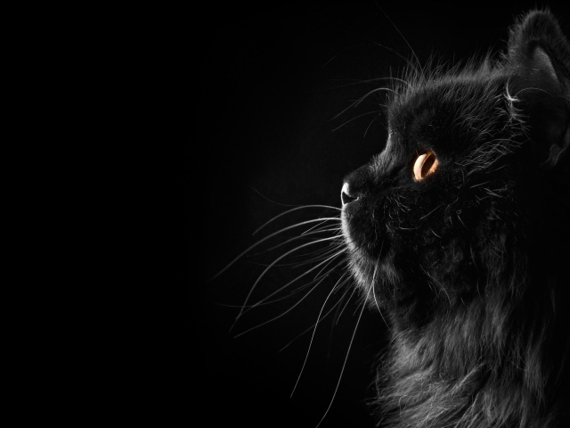 Animals___Cats_Fluffy_black_cat_on_a_black_background_044894_29